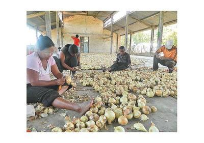 Familias indígenas de Casado producen y venden cebollas