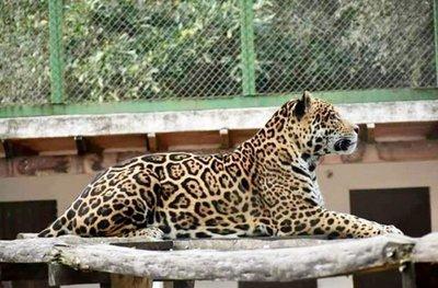 Yaguareté de refugio Atingy será llevado a la Argentina