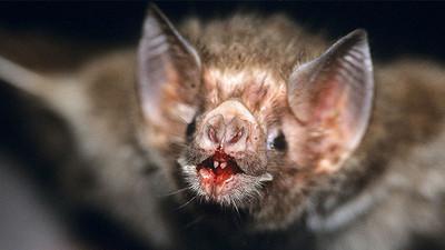 Murciélagos desarrollan el gusto por la sangre humana