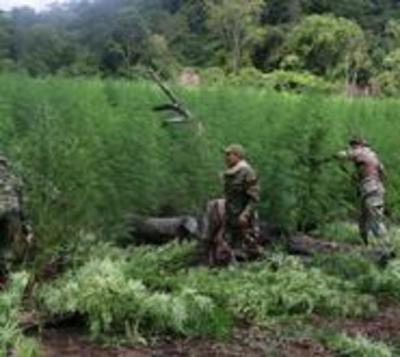 Incineran 66 toneladas de marihuana en operativo antidrogas