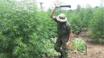 Destruyen 22 hectáreas de marihuana en Pedro Juan