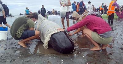 Encallan 200 Ballenas Ms En Nueva Zelanda Pese A Esfuerzos