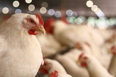Granja Avícola La Blanca apunta a nuevos mercados para exportar