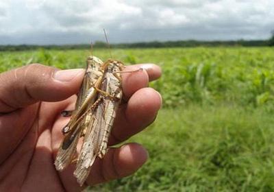 Aumenta aparición de langostas en el Chaco