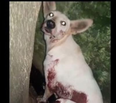 Otro perro víctima de balazo
