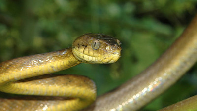 Serpientes venenosas amenaza  con destruir los bosques