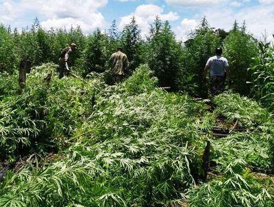 Concluye operativo conjunto con casi 800 toneladas de marihuana destruida