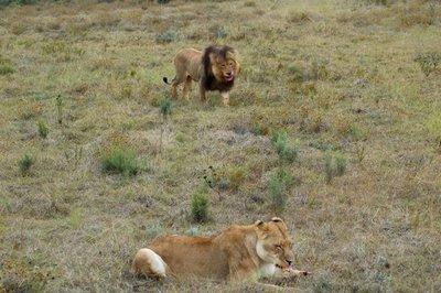 Las leonas cazan, pero el rey de la selva come primero