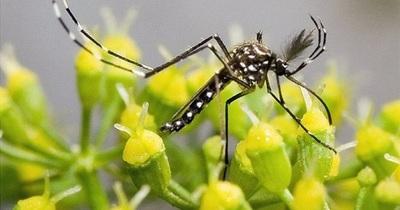 Científicos estudian una manera de lucha contra la malaria usando transgénicos