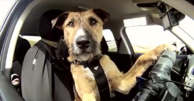 Hay una autoescuela en Nueva Zelanda que se dedica a enseñar a conducir a perros. En serio