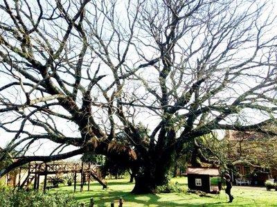 Vence el plazo para postular a los árboles más añosos del Paraguay