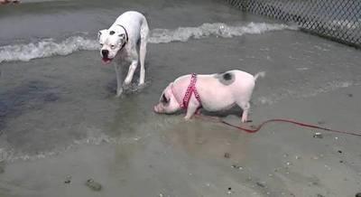 Niño recibe brutal mordida de un perro y niña es herida por un cerdo