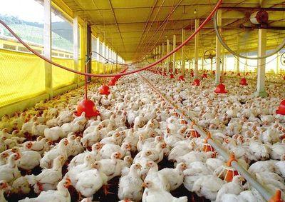Sector avícola operó con 37,5% más de mercados