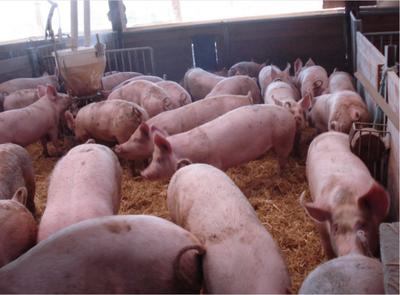 El país busca tener estatus de libre de la fiebre porcina