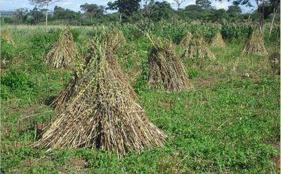 Productores de sésamo aumentan producción en un 70%