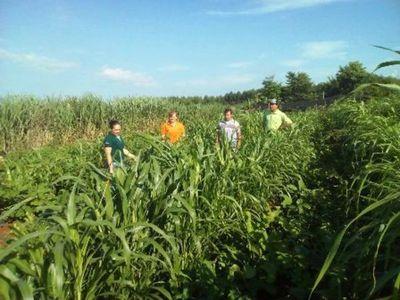 Técnicos del MAG realizaron verificación del cultivo de algodón y otros