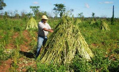 Hay optimismo en Concepción respecto a cultivos de sésamo