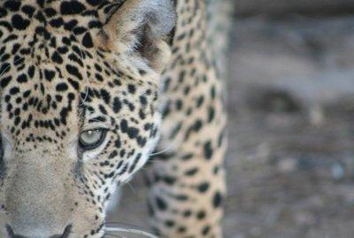 Prueban técnicas antidepredatorias en el Chaco