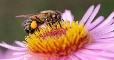 Crisis alimentaria por desaparición de abejas