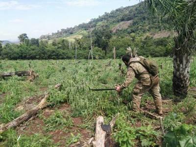 Destruyen 93 toneladas de marihuana en operativo conjunto con el Brasil