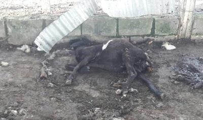 Supuesto chupa cabras liquida 16 ovejas en Horqueta