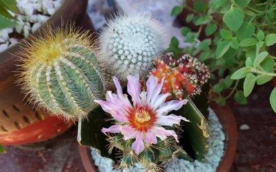 Coleccionistas de cactus y suculentas