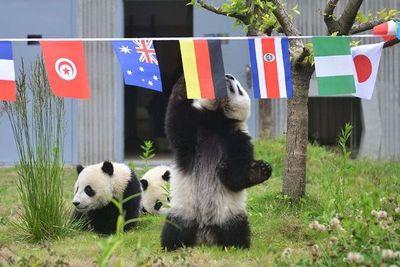 Los osos panda celebran su propio mundial paralelo en China
