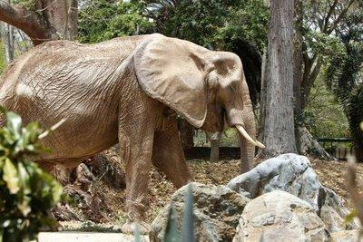Murió por desnutrición la icónica elefanta de Venezuela
