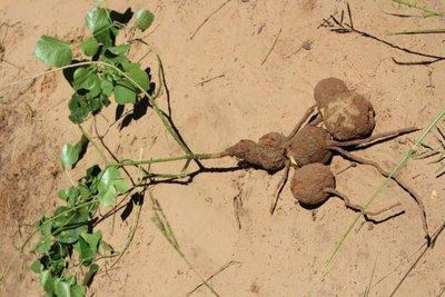Investigadoras paraguayas descubrieron nueva especie de planta