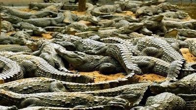 """Asesinan a unos 300 cocodrilos por """"venganza"""""""