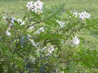 Investigan propiedades medicinales del ñuati pyta