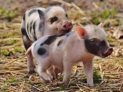 Ver fotos de animales bebés reduce las ganas de comer carne