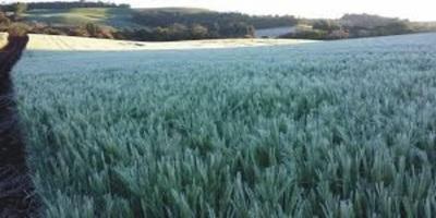 Minimizan pérdida en el trigo de Alto Paraná luego de heladas