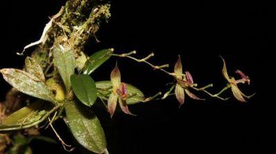 Descubren en selva de Perú una nueva especie de orquídea