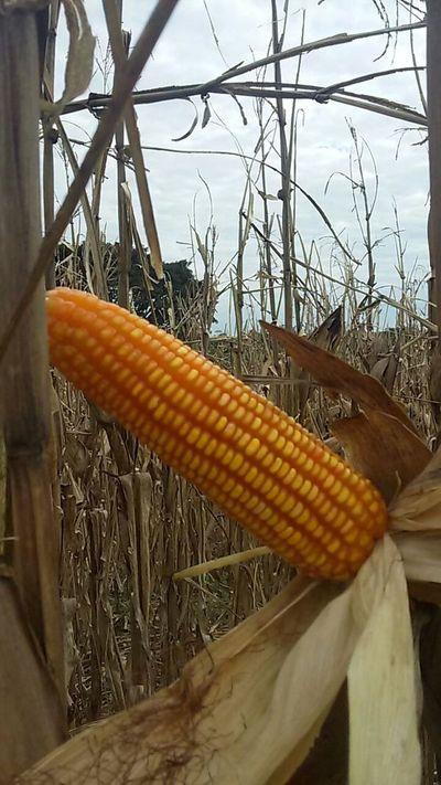 En San Pedro el maíz alcanza un rendimiento de 5 mil kilos por hectárea