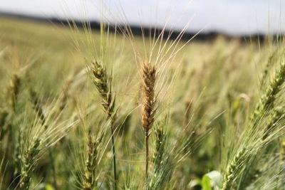 Helada perjudica cultivo de trigo en Alto Paraná