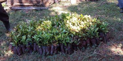 Entregan Plantines de yerba mate
