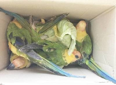 Intervinieron venta ilegal de loros en mercado San Lorenzo