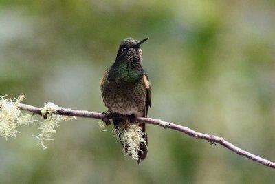 Para rescatar el planeta, podemos empezar por los colibríes