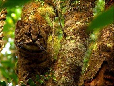 El felino más pequeño de América, en peligro de extinción