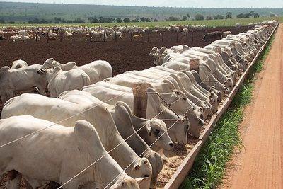 El novillo en el eje de los U$S 3, la industria continúa presionando la baja el precio del ganado