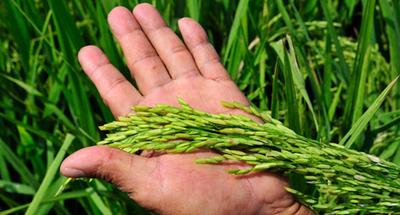 """""""Es necesario que Paraguay desarrolle una variedad de arroz nacional"""""""