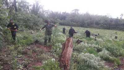 Destruyen cultivo de marihuana en Yhú – Prensa 5