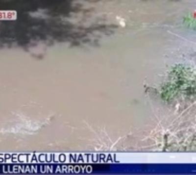 Evento único: Peces invaden arroyo en Paraguarí