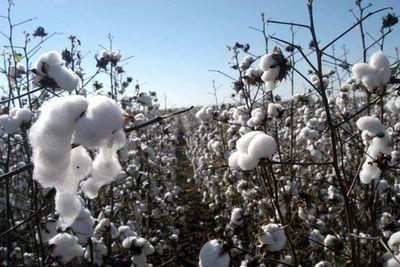 Impulsan producción de algodón