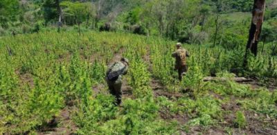 Destruyen más de 12 héctareas de marihuana