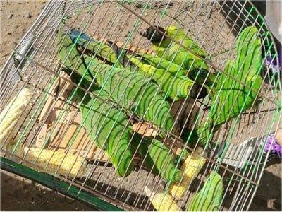 Rescatan loros que se vendían en el mercado de San Lorenzo