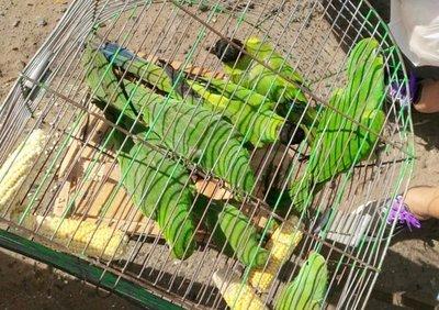 MADES rescata loros del mercado de San Lorenzo