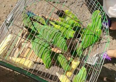 Una vez más rescatan loros en el mercado de San Lorenzo