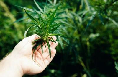 Cae banda que ponía música clásica las 24 horas a la marihuana que cultivaba
